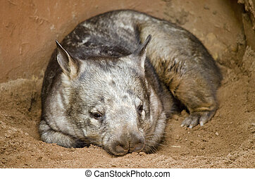 hairy nosed wombat - the hairy nosed wombat is resting in...