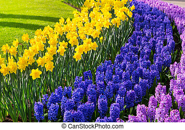 Colorful flowers blossom in dutch spring garden Keukenhof,...
