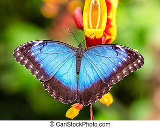Peleides Blue Morpho on flower blossom - Closeup macro photo...