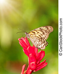 Closeup butterfly Large Tree Nymph on blossom - Closeup...