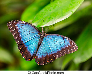 Peleides Blue Morpho on leaf - Closeup macro photo of...