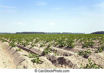 Potatoes in the field - Agricultural field on which grow...