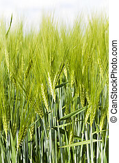 Green barley , close-up - photographed close-up green unripe...