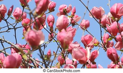 Magnolia flowers blossom with slider