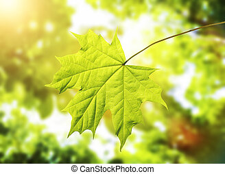 Leave - Green leave of maple on green blured background