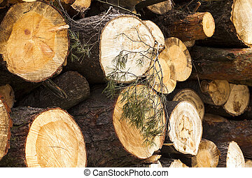 logging   conifer tree