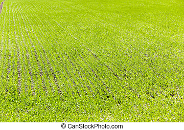 Agriculture cereals Spring - Agricultural field on which...