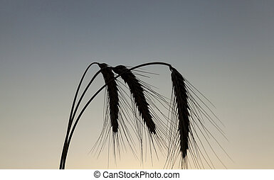 silhouette ears of rye at sunset - photographed close-up ear...