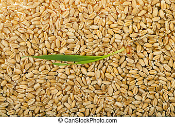 Sprouted wheat grain