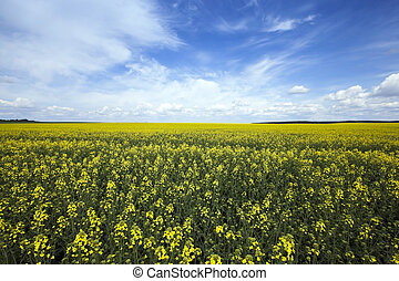 Agriculture rape Spring - Agricultural field on which grow...