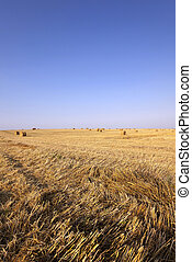 harvest of cereals - agricultural field where harvest of...