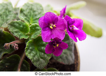 Potted African Violet (Saintpaulia) on window sill,...