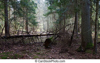 Shady coniferous stand of Bialowieza Forest in spring with...