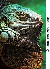 Green iguana - Iguana iguana, detailed animal portrait -...