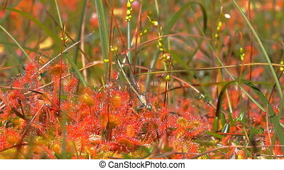 Carnivorous plants. Filming as sundew eats dragonfly -...