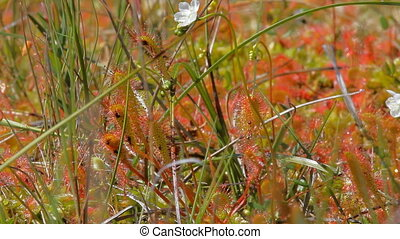 Bright beautiful sundew flowers on lake meadow. Sunny day -...