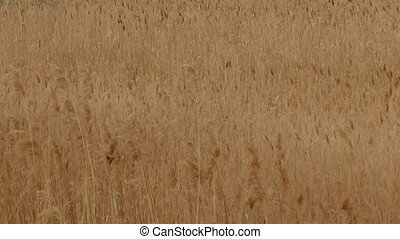 Phragmites Reeds, Windy Summer,Background