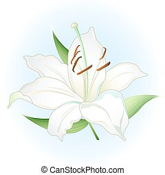 White lily on light blue background vector illustration