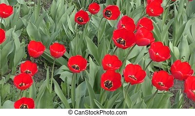Red tulips swinging in the wind