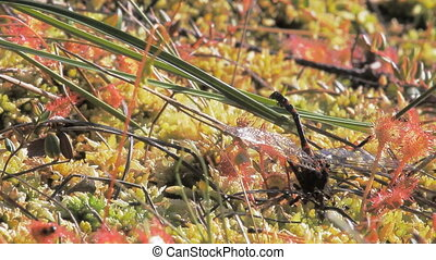 Carnivorous plants. Plant sundew and ants devouring...