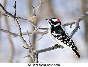 Downy Woodpecker - A male downy woodpecker perched on a tree...