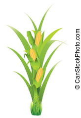 Corn cobs - Vector of corn cobs, corn kernels, green leaves