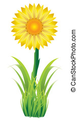 sunflower - Vector illustration of yellow sunflower