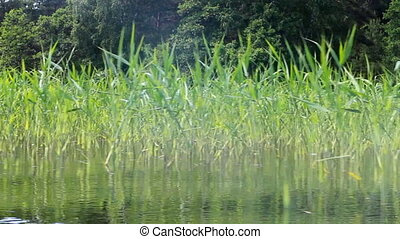 Boat tour on forest river Bypassing reed beds - boat sails...