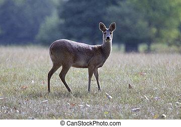 Alert deer - Doe deer standing alert in profile, blurred...