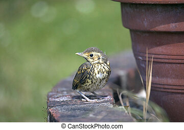Baby Song Thrush - A song thrush chick on an old brick wall