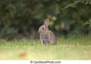 Wild Rabbit - A wild rabbit sitting alert against a blurred...