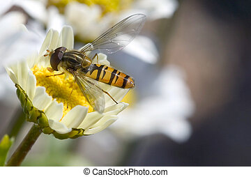 Insect on daisy - Macro of a hoverfly taking the nectar from...