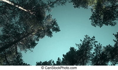 Tops of pine trees sway in wind and sun's as brocade