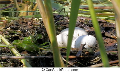 Great crested grebe: floating birds nest in corner of reed -...
