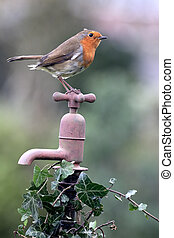 Robin, Erithacus rubecula, single bird on rusty garden tap,...