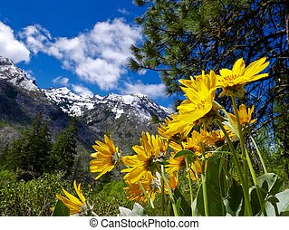 Flowers, Mountains, Snow, Clouds. - Yelow sunflowers in...