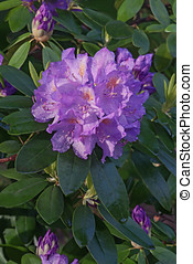 Catawba rosebay (Rhododendron catawbiense). Called Mountain...