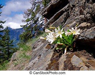 Wild Flowers, Rocks, Mountains.