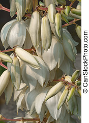 Common yucca flowers - Common yucca Yucca filamentosa Called...