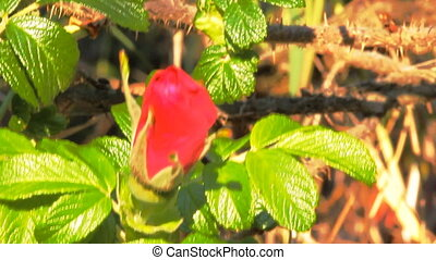 Wild rose Bush in the white midday sun - wild rose Bush in...