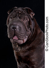 Shar-Pei Portrait on Black Background
