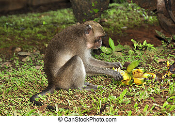 Macaque, Rhesus Macaca mulatta - An adaptable monkey, found...