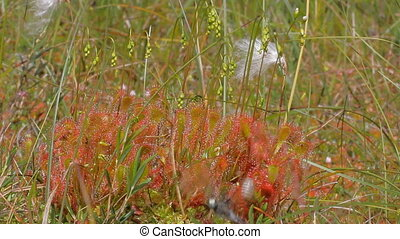 Plants predators English sundew caught dragonfly that beats...
