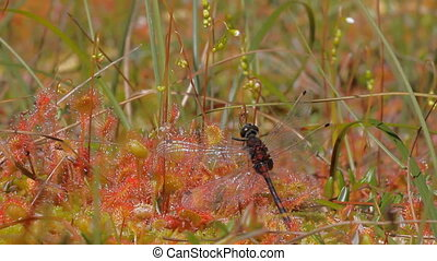 Plant-killer Fallen into clutches of sundew, dragonfly...