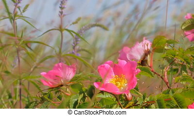 Delicate flowers of wild rose on lush seaside meadow. Middle of summer