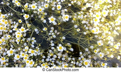 Water Buttercup, thousands of flowers and millions of white...