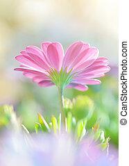 Beautiful daisy flower - Closeup photo of a beautiful pink...