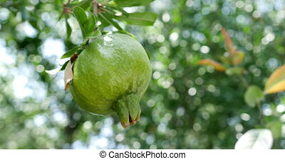 Close-up of unripe pomegranate hanging on branchBokeh