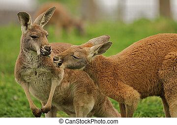 Two kangaroos sharing a clover. - Two kangaroos sharing a...