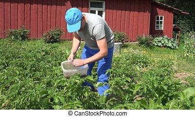 man gather parasite colorado beetle fresh potato in garden....